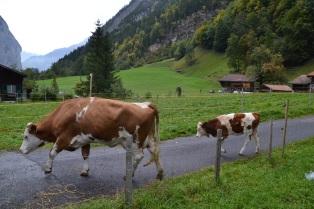 Barn to pasture walk