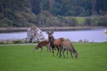 Deer family at The Lake Hotel in Killarney