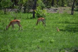 Impala & baby