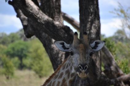 Giraffe smirk