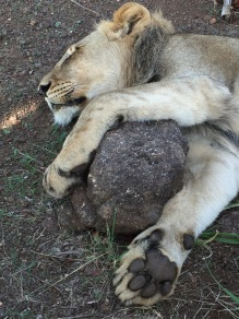 Snuggling a rock