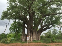 The Big Tree in Vic Falls