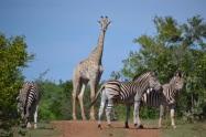 Giraffe photo bomb