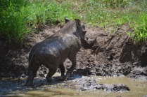 Warthog leaving his mudhole bath