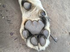 Phezulu's paw