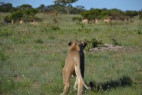 Spotting impala in the distance
