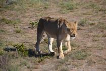 Ngamo lioness