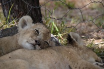 Sleepy cubs