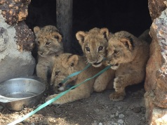 Four of the eight little cubs here
