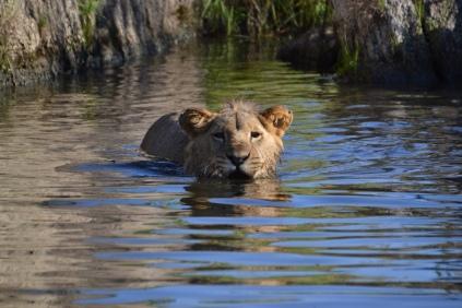 Drinking swim
