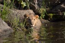 Arusha soaking in the water