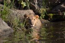 Arusha soaking in the water