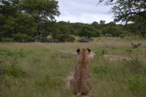 Watching the wildebeest