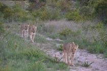 Night encounter lions; my favorite is Kariba, second on back