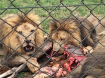 Male lions feeding is intense