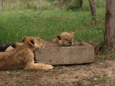 Fell asleep on the edge of their water trough