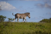 Zebra just before the chase...