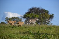 Arusha and Amani in pursuit