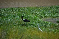 Saddle billed stork & a white egret