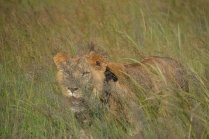 Arusha in the long grass