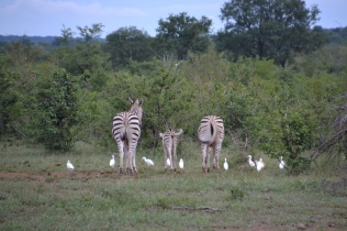 Zebra family swinging their tails