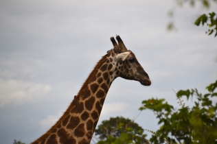 Giraffe with a bird rider on his neck