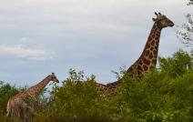 Baby giraffes!