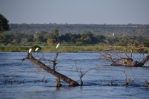Egrets on the river