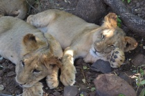 Lekker resting with Lalapanzi, his buddy