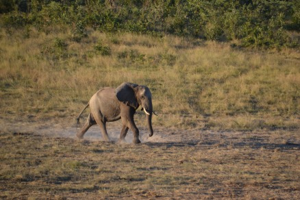 Big bull on his way to the water hole