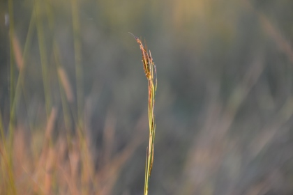 Reed of grass
