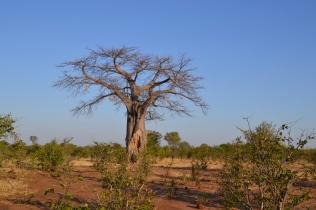 Baobab tree in the Zambezi