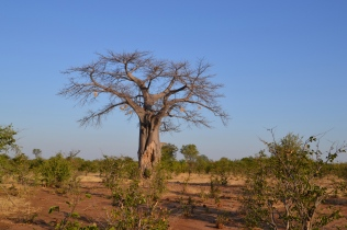 Baobab tree in the Zambezi