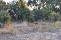 Elephant charging an impala