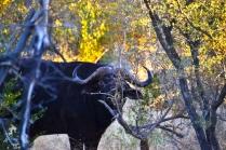 Big buffalo in the trees