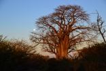 Moon rising behind the baobab