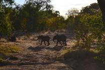 Elephant calf crossing