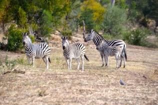 Baby zebra nearly camouflaged
