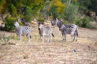 Baby zebra nearly camouflaged