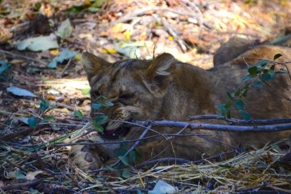 Liuwa chewing a branch