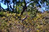 Red-billed hornbill, a.k.a., Zazu