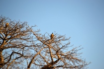 Vultures atop a huge baobab tree