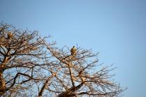 Vultures atop a huge baobab tree