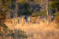Zebra in the evening light