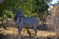 Male kudu with female in background