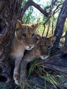 Lekker and Liuwa in their favorite tree