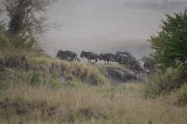 Another wildebeest crossing