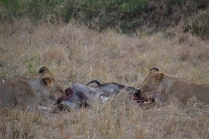 Two young female lions on a kill