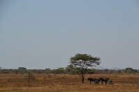 Wildebeests huddled under the only shade around
