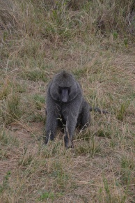 Big male baboon